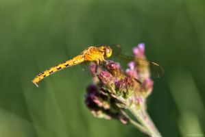 Dragonfly on flower by AJBaus