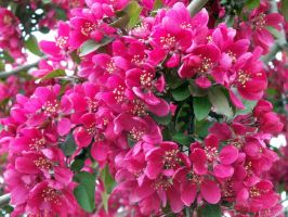 Flowering Crabapple by dv8dotca