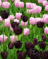 Tulips by Avondrood