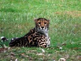 Cheetah by 1wolf-photography