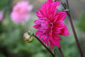dahlias in Flora garden 21 by ingeline-art