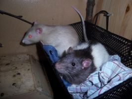 rats in a basket by RatteMacchiato
