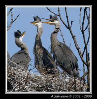 Heron Chicks II by andy-j-s