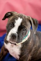 our lovely Olde english Bulldogge puppy Kimbo by graynd