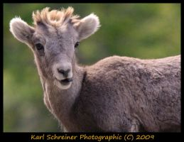 Young Mountain Sheep by KSPhotographic