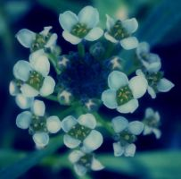 Alyssum by angelbabiau
