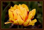 Yellow-Red-Flower by caro77