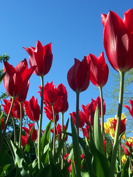 Red Tulips by TheRealZubes