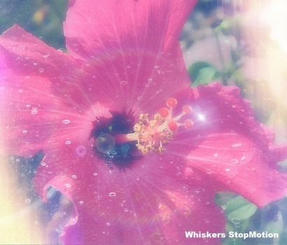 Hibiscus Flower ~ (EDITED) ~ by whiskers2413