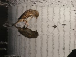 little sparrow reflexion by rockmylife
