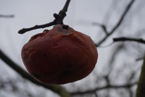 Winter apple by Mecarion