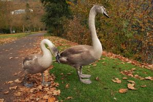 Baby Swans by RevelloDrive1630