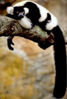 Lemur by Art-Photo