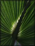 Saw Palmetto 40D0000984 by Cristian-M