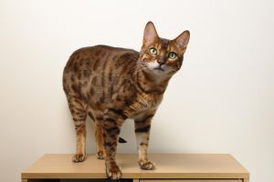 Bengal Cat Standing Stock 20150125-3 by FurLined