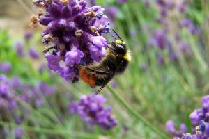 Bee on lavender, close by Brianetta