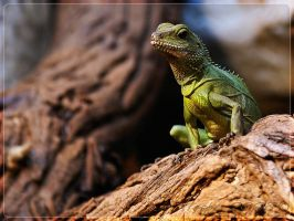 Chinese Water Dragon by webcruiser