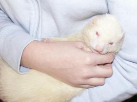 Sylvester the Albino Ferret by janni-chan
