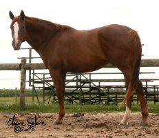 OLD - QH Mare - 6 by ElaineSeleneStock