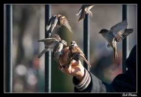 Flying sparrows by Seb-Photos