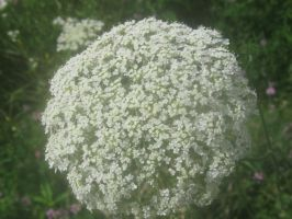 Queen Anne's Lace by ZebulaNebula