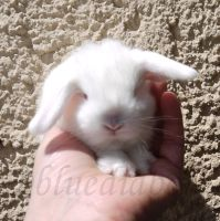 Teddy dwarf lop 2 weeks old by bluediabolo
