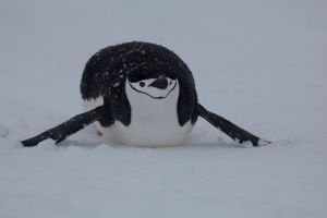 Snow on My Flippers by pinguino