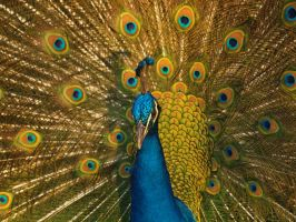 Pavo Real by sebastopolgoose