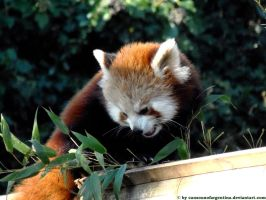 Red panda IV by Cansounofargentina