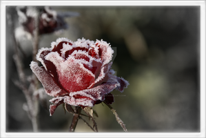 A Rose in Winter_vsVD by xLoversRevenge