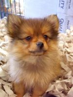 Portrait of a Pomeranian by WildernessNaturalist
