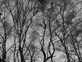 Birch Trees by Michies-Photographyy