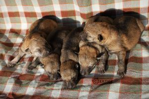 All Puppies, One Week Old by Czertice