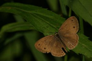 Brown Butterfly by gerald-the-mouse3