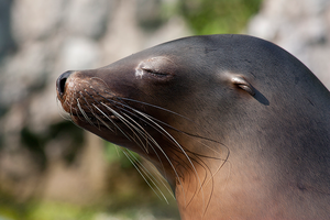 California sea lion by ReneWarich