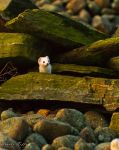 Stoat by studio-toffa