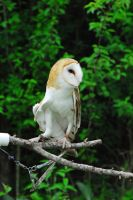 CatherineCross Barn Owl Stock by CatherineCross