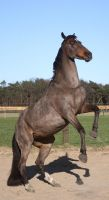 warmblood mare rearing 01 by Nexu4