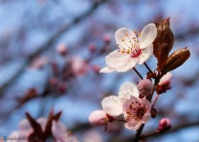 spring blossom by RachaelXIII