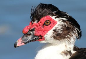 Muscovy Duck by Folkeye