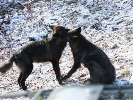 Black Wolves Fight Stock by AngelSTOCK22