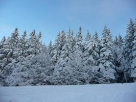 many fir trees by mimose-stock
