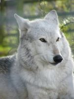 Wolf Portrait Stock 15 by Clickitysnip-Stock
