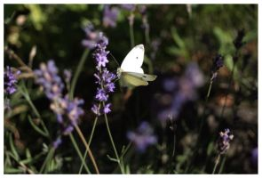 butterfly by JacquesPhotography