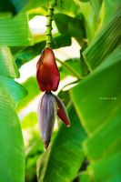 banana tree by Enigma-Fotos