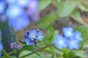 Forget Me Not. by MaePhotography2010