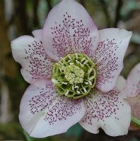 Hellebore variation by Mararda