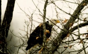 Local Bald Eagle by harrietsfriend