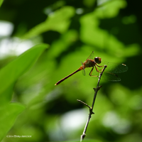 Perched red dragonfly square by Mogrianne