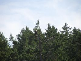 Bald Eagle 2 by Rosefish